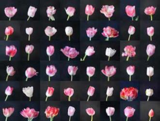 Imagen 6. Anna Ridler. (Reino Unido, 2018). Mosaic Virus. Imágenes de tulipanes construidas por IA a par- tir del dataset Myriad (Tulips) de Anna Ridler.