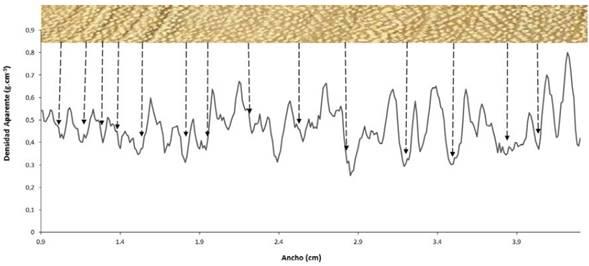 Demarcación del límite de los anillos de crecimiento en arboles de A. cearensis identificados por el perfil de microdensitometría (segmento de muestra analizado).