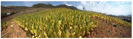 Cultivo de tabaco Burley con sistema de goteo de agua sembrado en Diciembre del 2014 por el Sr. Johanny Rodríguez vereda Montecitos, San Gil, Santander, Colombia.
