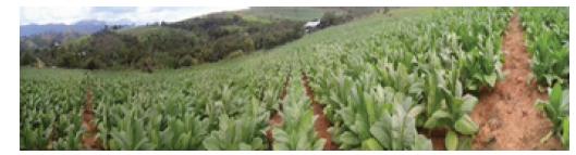 Cultivo de tabaco Burley sembrado en Abril del 2015 por el Sr. Johanny Rodríguez vereda Montecitos, San Gil, Santander, Colombia.