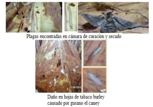 Plaga encontrada en las hojas de tabaco Burley en caney y en cámara de curación y secado.